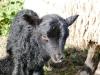 smali-flock-2012-12