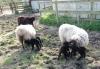 smali-flock-2012-20