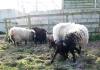 smali-flock-2012-21