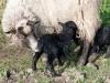 smali-flock-2012-5