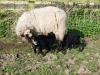 smali-flock-2012-6