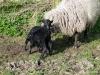 smali-flock-2012-8