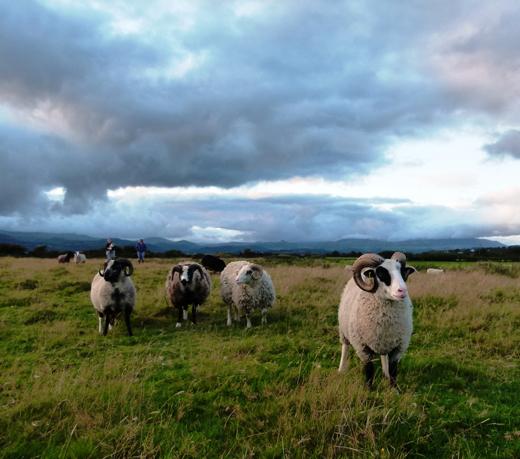 Conservation Grazing | Shetland Sheep | Wilde Ecology
